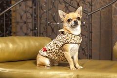 动物奇瓦瓦狗给狗穿衣 免版税库存照片