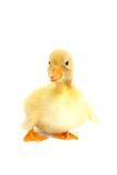 动物婴孩逗人喜爱的鸭子