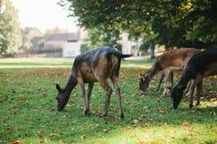 动物寻找食物 一个小组幼小鹿通过一个温暖的绿色晴朗的草甸走在树旁边 图库摄影