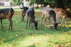 动物寻找食物 一个小组幼小鹿通过一个温暖的绿色晴朗的草甸走在树旁边 库存图片