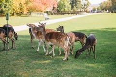 动物寻找食物 一个小组幼小鹿通过一个温暖的绿色晴朗的草甸走在树旁边 库存照片