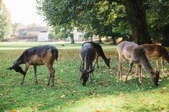 动物寻找食物 一个小组幼小鹿通过一个温暖的绿色晴朗的草甸走在树旁边 免版税图库摄影