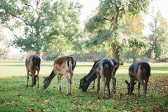 动物寻找食物 一个小组幼小鹿通过一个温暖的绿色晴朗的草甸走在树旁边 免版税库存图片