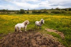 动物小马领域 库存图片