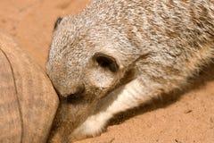 动物开掘的meerkat 免版税图库摄影