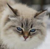 动物恋人 美丽的西伯利亚猫作为一只家庭宠物 免版税图库摄影