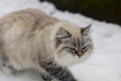 动物恋人 美丽的西伯利亚猫作为一只家庭宠物 库存图片