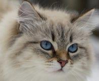 动物恋人 美丽的西伯利亚猫作为一只家庭宠物 免版税库存图片