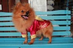 动物是狗美丽被隔绝的演播室逗人喜爱的小狗滑稽的国内圣诞节的画象 库存照片