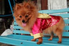 动物是狗美丽被隔绝的演播室逗人喜爱的小狗滑稽的国内圣诞节的画象 库存图片