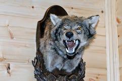 动物标本剥制术充塞了狼有露出的嘴的` s枪口 免版税库存照片