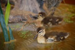 动物标本剥制术鸭子 免版税库存图片