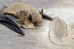 动物棒Nathusius动力滑翔机试飞(Pipistrellus nathusii) 库存图片