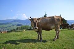 动物母牛自然视图登上 库存图片