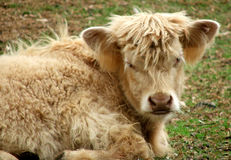 动物母牛高地 库存照片