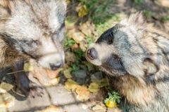 动物浣熊特写镜头在秋天 免版税库存照片