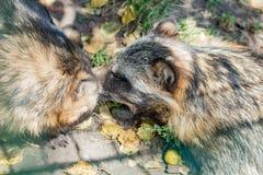 动物浣熊特写镜头在秋天 免版税库存图片