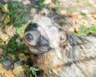 动物浣熊特写镜头在秋天 免版税图库摄影