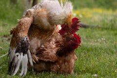 动物爱情故事:热情地联接的雄鸡和母鸡, 免版税库存图片