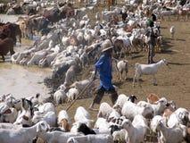 动物牧群在苏丹,非洲 库存图片