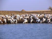 动物牧群在苏丹,非洲 免版税库存图片