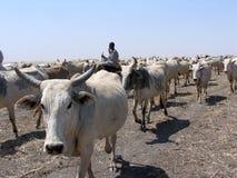 动物牧群在苏丹,非洲 免版税库存照片