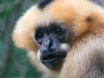 动物猴子纵向 库存照片