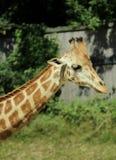 动物画象-在动物园的一头长颈鹿 库存照片