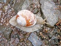 动物界,在山路的蜗牛 库存图片