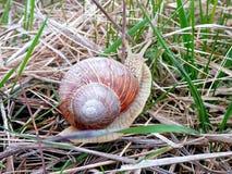 动物界,在草的蜗牛 免版税库存照片