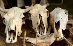 动物的头骨 免版税图库摄影