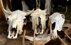 动物的头骨 免版税库存照片