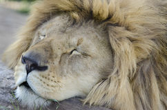 动物的睡觉的国王 免版税图库摄影