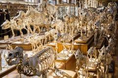 动物的骨骼在古生物学和比较解剖学画廊的在巴黎 库存图片
