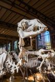 动物的骨骼在古生物学和比较解剖学画廊的在巴黎 免版税图库摄影