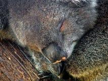 动物考拉 免版税库存照片