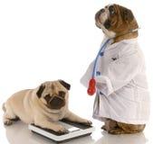 动物肥胖病 库存照片