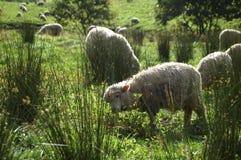 动物草羊羔横向家畜草甸绵羊 库存图片