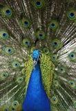 动物蓝色cristatus印第安孔雀座孔雀 库存照片