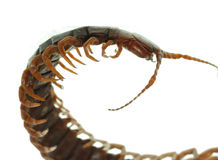 动物蜈蚣毒物 库存图片
