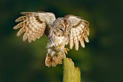 动物行为,瑞典,欧洲 鸟着陆 飞行欧亚黄褐色的猫头鹰,猫头鹰类aluco,与好的绿色后面的被弄脏的森林 图库摄影