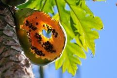 动物被咬住的果子番木瓜 免版税库存照片