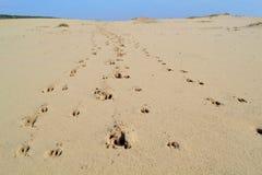动物轨道在沙漠 免版税库存图片