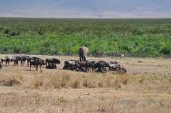 动物通配横向的savana 免版税库存照片