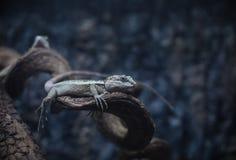 动物通配水族馆的蜥蜴 免版税库存照片