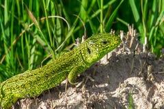动物通配水族馆的蜥蜴 免版税库存图片