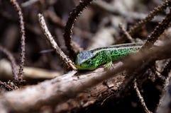 动物通配水族馆的蜥蜴 免版税图库摄影