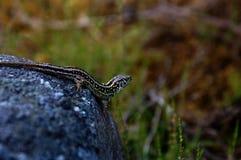动物通配水族馆的蜥蜴 库存图片