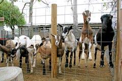 动物铁罐农厂山羊 免版税库存照片