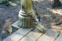动物顶头有放置反对柱子的大和长的扭转的垫铁的螺丝有角的山羊头骨 免版税库存照片